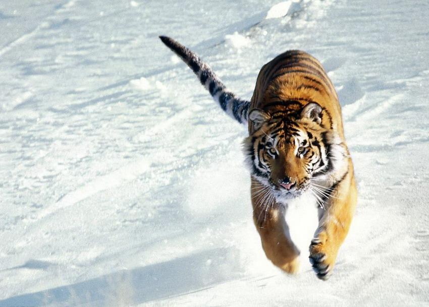 长白 吉林省/东北虎又称西伯利亚虎,分布于亚洲东北部,即俄罗斯西伯利亚...