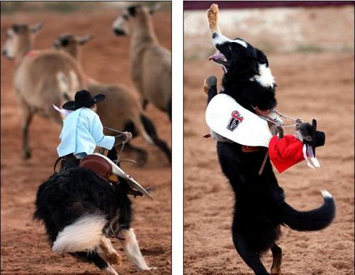 牧羊犬 小猴 帅气 娴熟/小猴的技术堪称娴熟