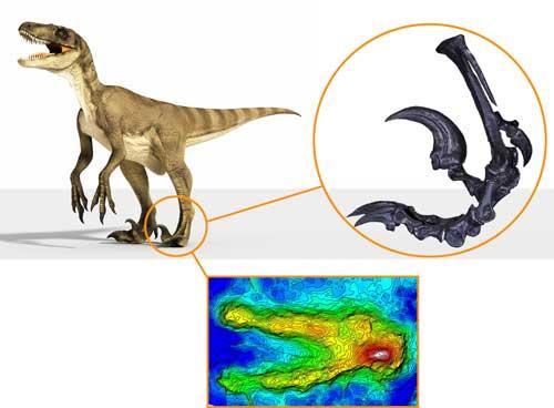 恐爪龙类复原图,脚部骨骼,以及永靖驰龙足迹的3D图片