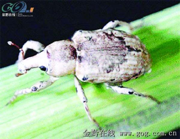 水稻虫子图片简笔画