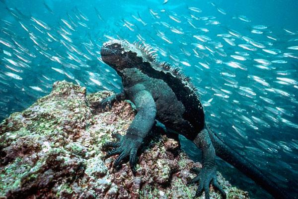 摄影师海底捕捉罕见海洋鬣蜥与群鱼共舞画面图片