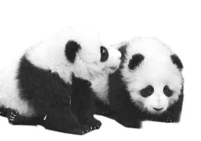 """动物园会被挤垮的!""""   两个月后,两只中国赠送的大熊猫到达华盛顿."""