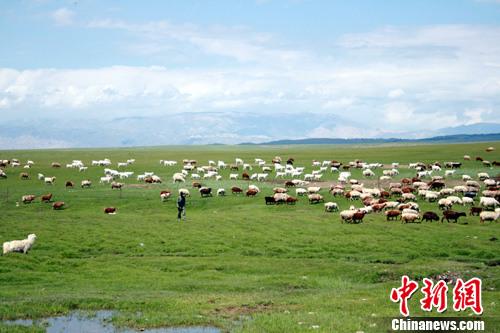 巴里坤草原水草丰茂,牛羊肥壮 张国奇