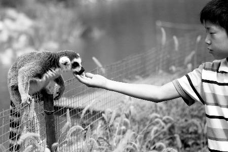 一位小朋友在动物园给环尾狐猴喂食。河南商报记者 杨东华/摄