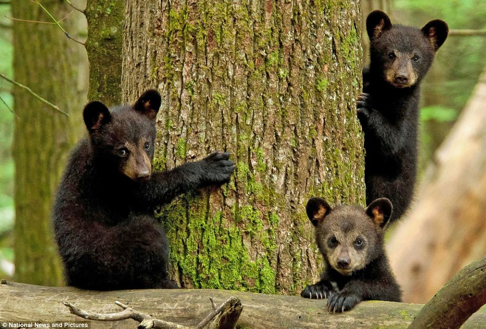 哪里有欧美幼幼资源_黑熊幼崽对闯入视线的摄影师兴趣浓厚(组图)