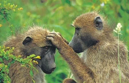 猴子是什么原因_劳伦的研究发现随着它们之间社会关系强弱程度的改变,猴子体内的