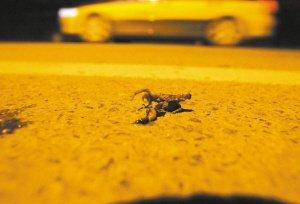 石家庄小蛤蟆深夜成群过马路 专家称是正常迁徙(组图)