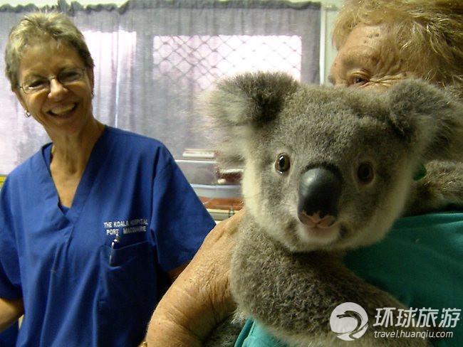 走进考拉医院 欣赏世界上最可爱的动物(图)