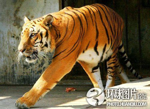壁纸 动物 虎 老虎 猫科 桌面 500_362