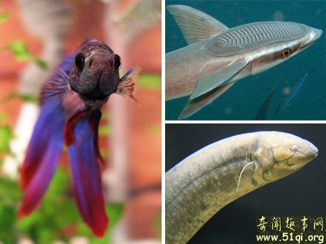暹罗斗鱼、肺鱼和鮣鱼