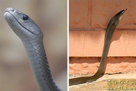 黑曼巴蛇:速度快、身体长