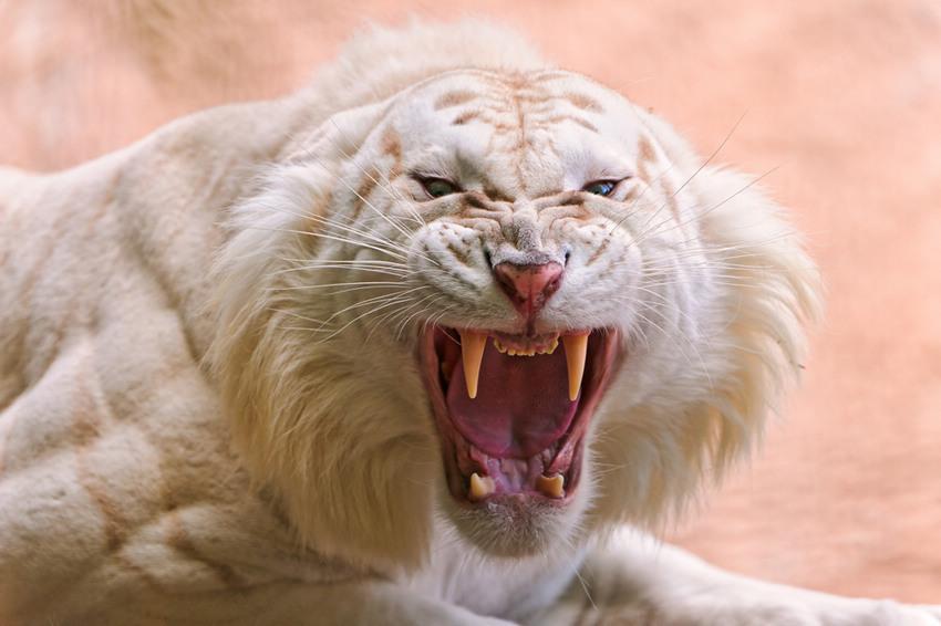近距离抓拍凶猛的孟加拉白老虎(高清图)