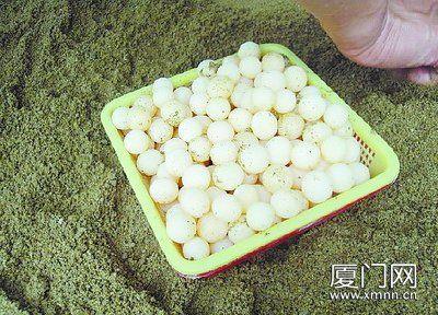 中华鳖蛋。