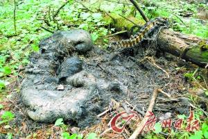 被猎杀的黑熊尸体现场.