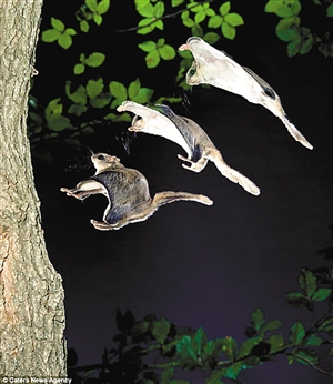 """飞鼠:天生的滑翔伞""""运动员""""(组图)"""