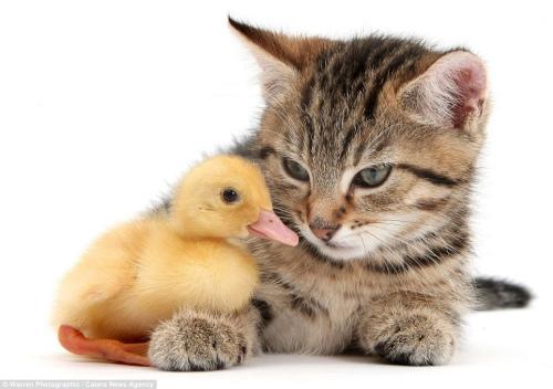 """摄影师拍摄小动物萌照 小猫小鸭亲吻""""撒娇""""(组图)"""