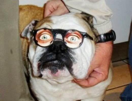 动物 街拍/沙皮狗带起黑框复古眼镜好似中年猥琐大叔