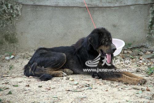 藏獒社区里流浪 宠物协会收留[图]