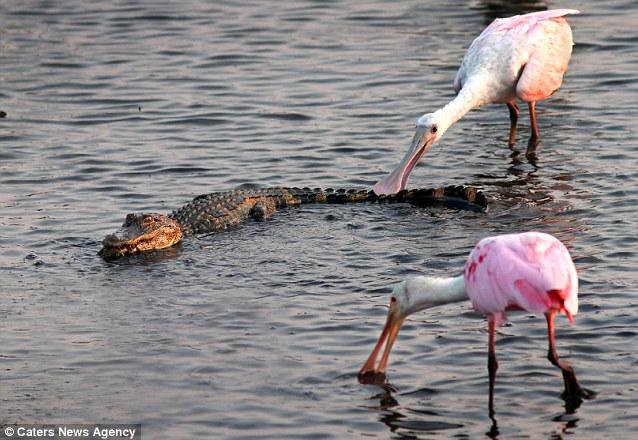 奇觀!大膽腑O啄食鱷魚尾巴