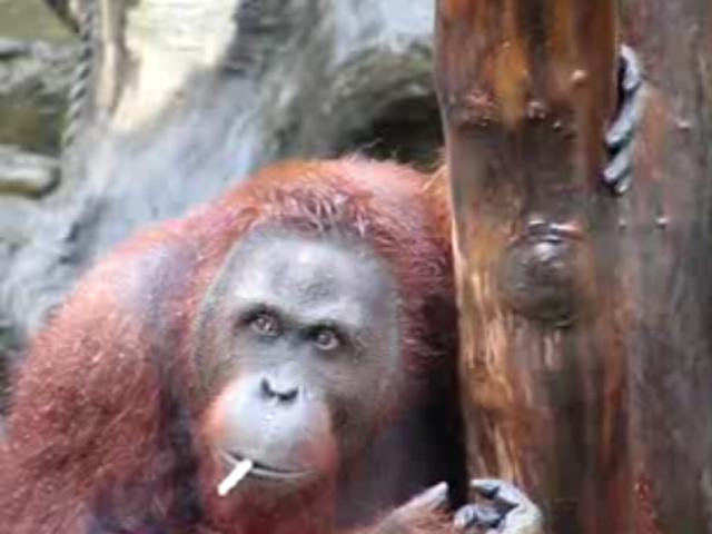 印尼动物园帮吸烟大猩猩戒烟 捡烟屁股上瘾(1)_科技频道_光明网(组图)