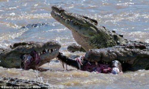 梦见杀鳄鱼好多血