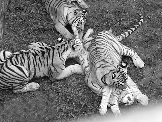 藏獒打架咬死狮子图片 世界上发生过藏獒和狮子打架的事件高清图片