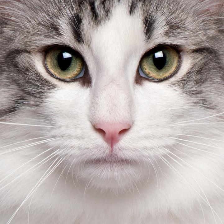 猫对人友善,胖乎乎的圆脸,圆圆的眼睛,犹如从漫画中跳出来的可爱模样,对人非常友善,对主人的忠心更是可以媲美狗类,当它认定你是主人以后,便会时常跟着你的脚步走。它们也会高傲、不理世事,有时喜欢娇滴滴地赖在你身边。不过它可是好事一族,常常会主动参与主人的日常生活,好像是要帮你做些什么似的。猫就是这样可爱的一个小精灵。   下面是一组外国摄影家为可爱的猫咪拍摄的证件照,快挑一个喜欢的领养吧!(赵文韬)