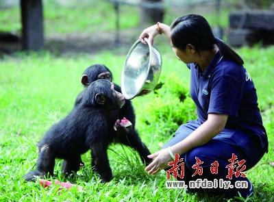"""一只猩猩直接对着盆""""畅饮""""剩余的西瓜水. 符超军 肖雄 摄图片"""