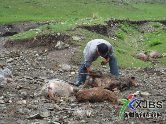 被洪水冲死的羊