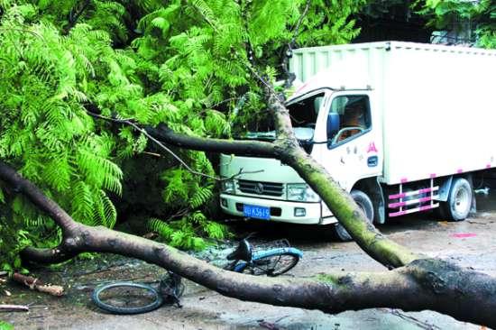 小货车的驾驶室被倾倒的金凤树砸至严重变形.图片