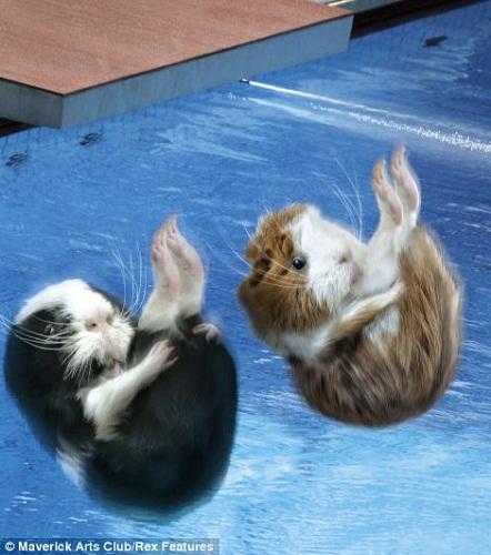 """日历9月照片:双""""鼠""""跳水"""
