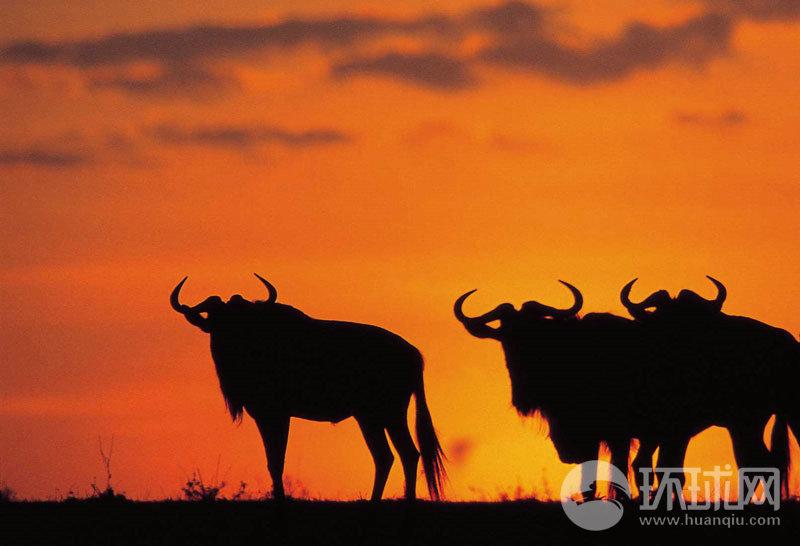 实拍:非洲草原动物大迁徙(组图)
