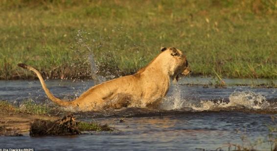 狮子咬死鳄鱼_母狮护崽心切水中与鳄鱼恶斗 狠按鳄鱼嘴(组图)-搜狐新闻