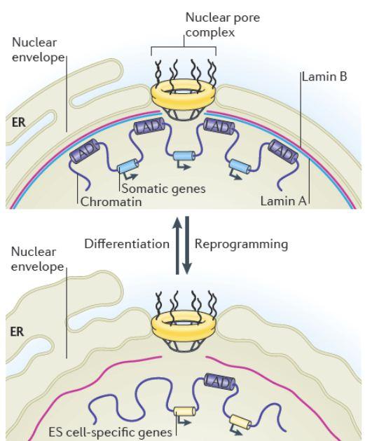 核膜在体细胞和多能干细胞中的结构差异及对核周染色体结构和基因表达