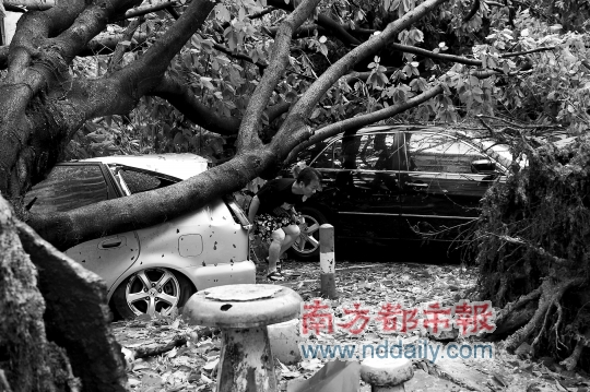 深圳一位市民冒着危险钻进倒下的大树下面去看自己的被压坏的爱车。 南都记者陈文才摄