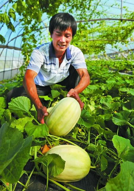 徐海波正在检查他用牛奶做肥料浇灌的瓜果。他向记者介绍,这些瓜与同期生长的未进行牛奶浇灌的瓜相比,个头大、口感好、糖分多。记者徐佳伟/摄