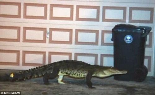 这条鳄鱼在房屋的走廊游荡