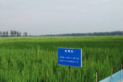 成都生物研究所在宁夏永宁县的水稻试验田