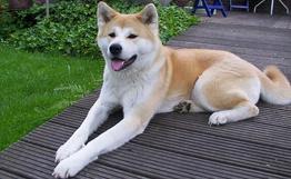 资料图:日本秋田犬