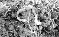 一种通常生活在法国南部的蚯蚓,大量出现在了都柏林的一个农场中。