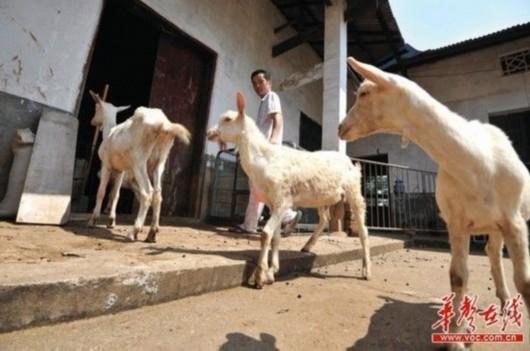 7月29日上午,长沙县黄花镇,韦星雨的5只羊在乡下避暑。记者 田超 摄