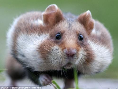这些可爱的仓鼠都有一个专门用来运送食物的颊囊,它们的颊囊每次能