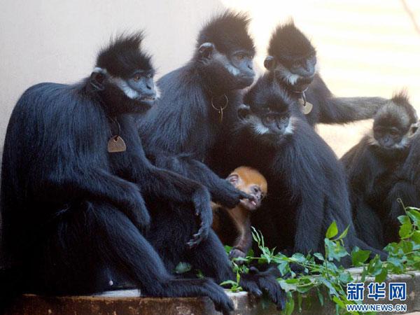 2012年7月31日广西梧州:近40年人工繁育黑叶猴300头梧州市园林动植物研究所内饲养的黑叶猴(7月31日摄)。黑叶猴是珍贵稀有灵长类动物,分布于广西、贵州等地,分布区域狭窄,数量很少,被列为国家一级保护动物。从1973年开始,广西梧州市开始人工繁殖培育黑叶猴,获得成功。近40年来人工繁殖培育黑叶猴成活幼仔300头,成活率达75.