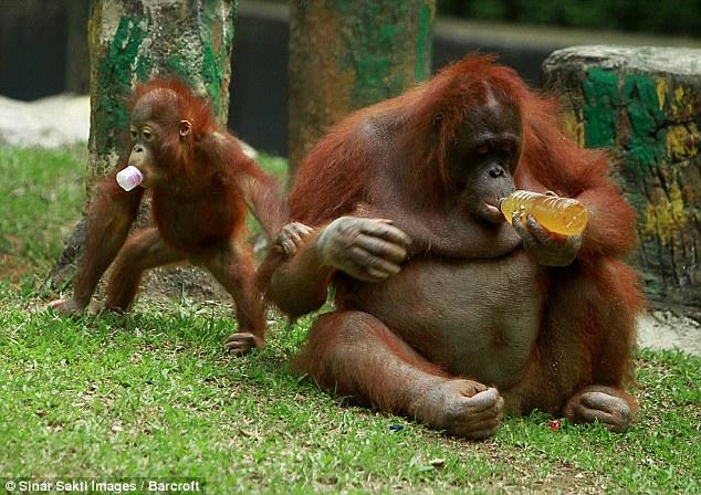 印尼动物园红毛猩猩畅饮养乐多 智商仅次人类(组图)
