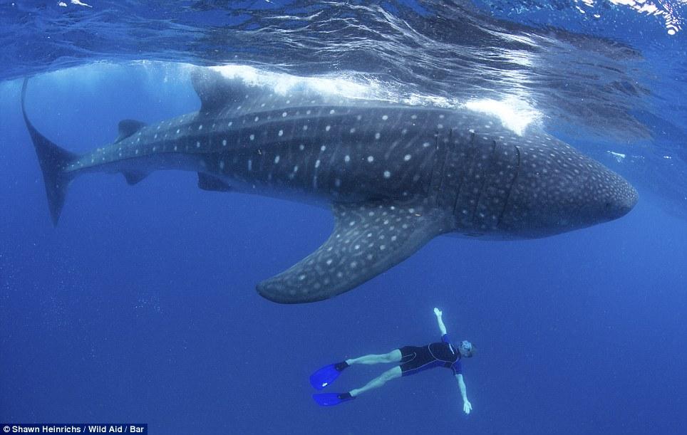 摄影师拍鲸鲨与人类同游震撼画面 高清图集