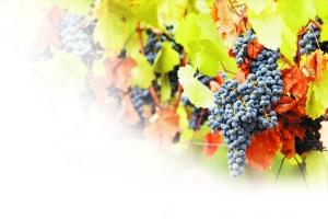 游历欧洲 情迷葡萄园