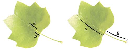 植物叶子中黄金分割