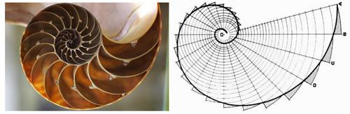 鹦鹉螺曲线的每个半径和后一个的比都是黄金比例,是自然界最美的鬼斧神工。