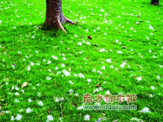 木棉树上的木棉飘落到绿色的草地上