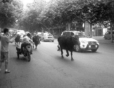 4头黄牛,雄赳赳、气昂昂地从工农路和自强西路十字以西狂奔过来 摄友杨小锋摄